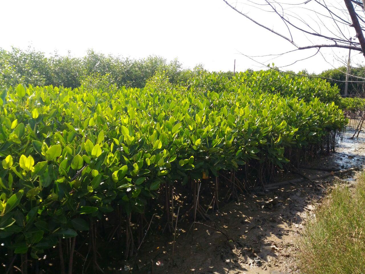 Fungsi Mangrove sebagai Green Belt Pesisir Pantai