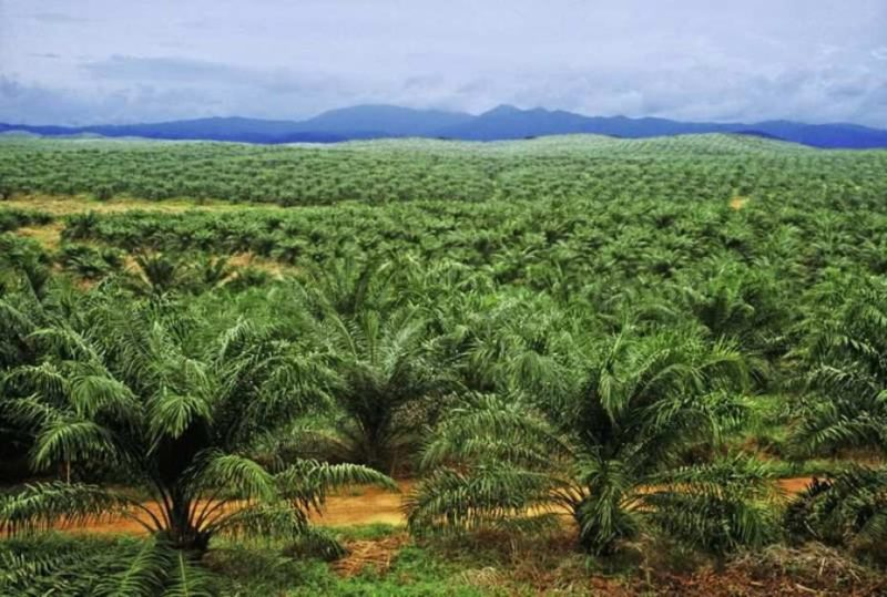 Industri Minyak Sawit Penyebab Deforestasi, Apa Dampaknya?