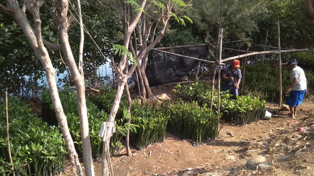 Jenis Mangrove yang Tumbuh di Maron Mangrove Edu Park, Semarang