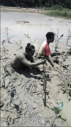 Penanaman Mangrove Cegah Rob di Trimulyo