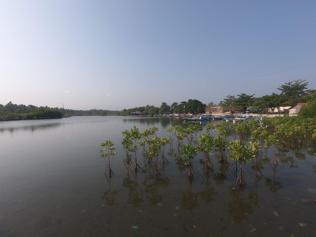 Penanaman Tumbuhan Mangrove di Pesisir