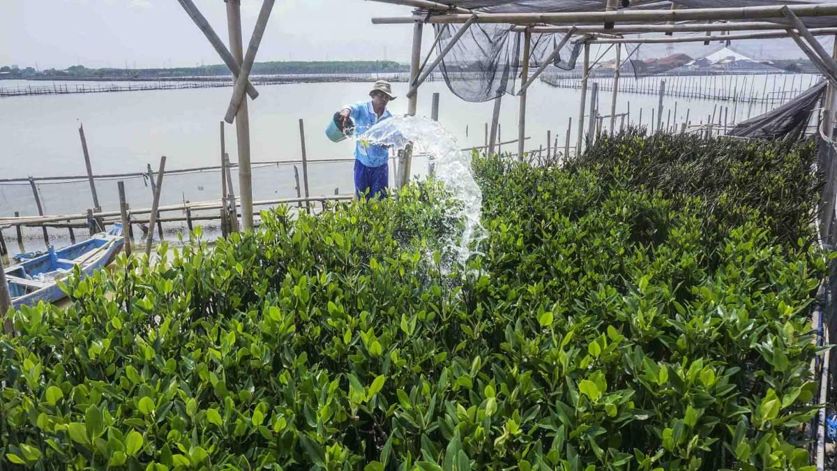Petani membudidayakan mangrove untuk diambil fungsinya