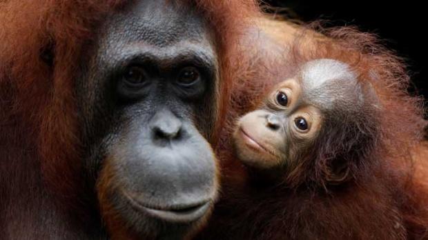 Orang Utan Tapanuli: Spesies Baru Terancam Punah | Wanaswara