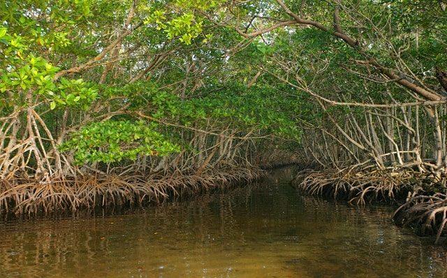 Mangrove yang Dirawat dengan Cantik