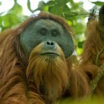 Orang Utan Tapanuli: Spesies Baru Terancam Punah