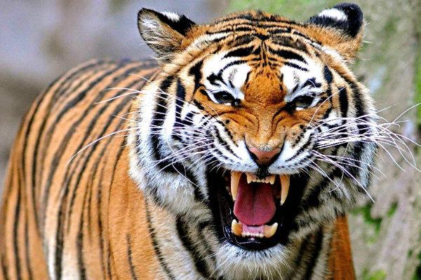 Harimau, Si Kucing Besar Yang Terancam Hanya Jadi Legenda Di Indonesia