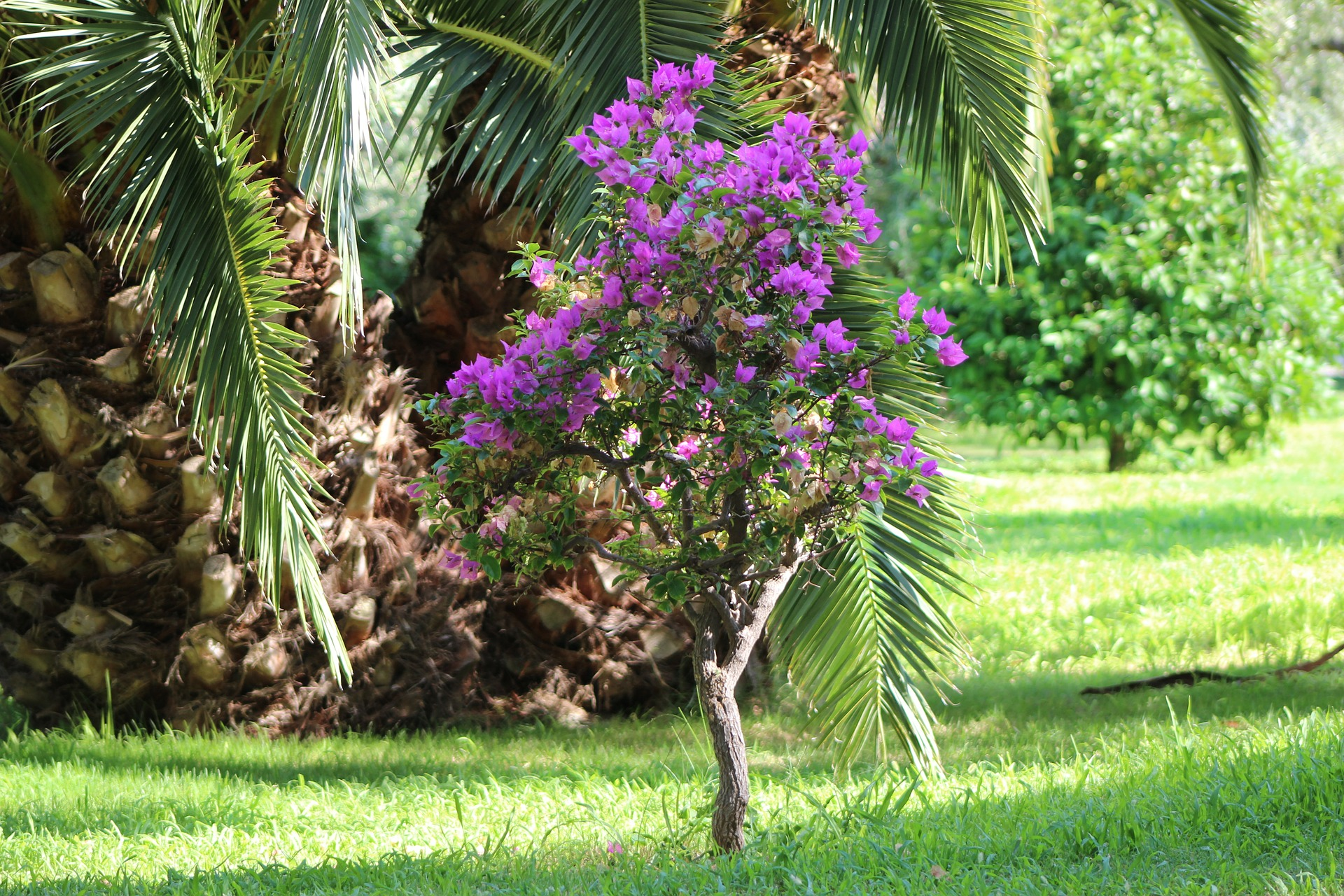 Pohon Bouganville Memberikan Kenyamanan dan Meningkatkan Keindahan di Wilayah Pemkot Semarang