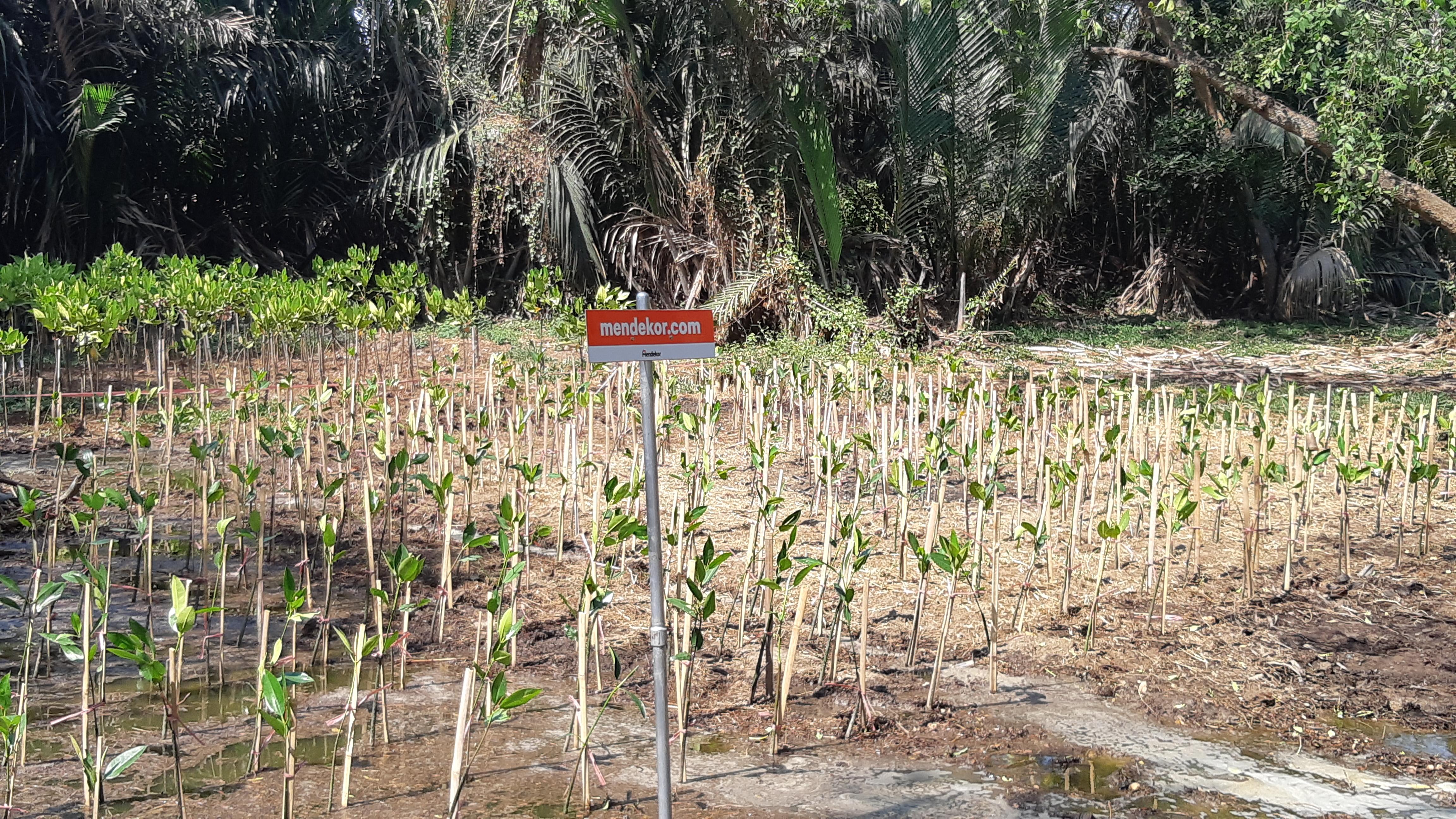 Gambaran lokasi kegiatan #MendekorBumi paska penanaman mangrove